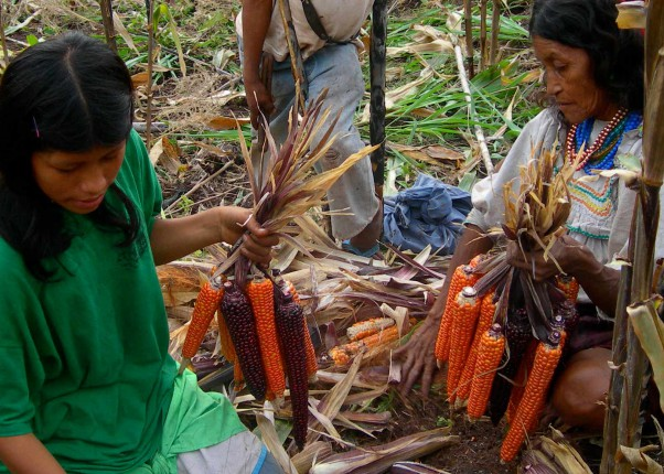 Peruanische Menschen bei der Ernte
